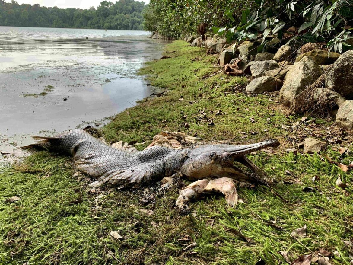 Alligator-like fish with huge jaws and sharp teeth spotted in Singapore — 10,000 miles from its native home